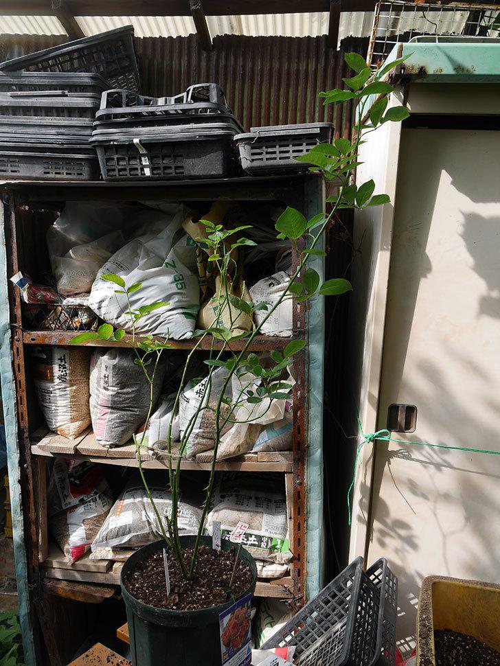 ラ・パリジェンヌ(La Parisienne)の新苗を8号ロングスリット鉢に植え換えた。2020年-008.jpg