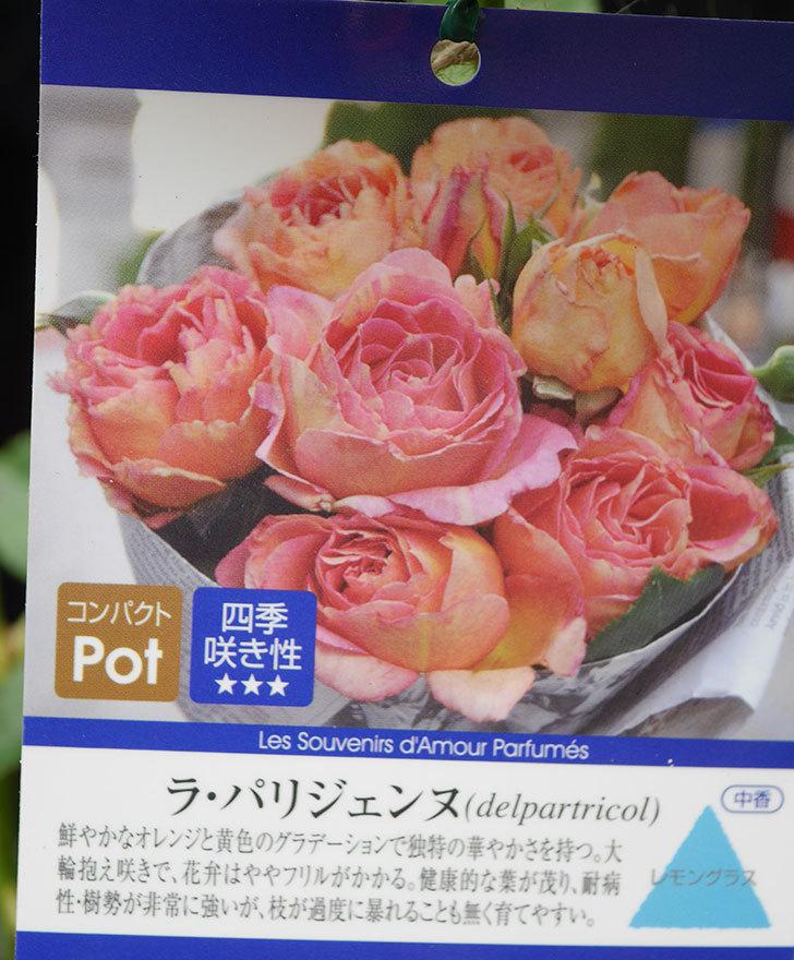 ラ・パリジェンヌ(La Parisienne)の新苗をはなはなショップで買った。木立バラ。2020年-001.jpg