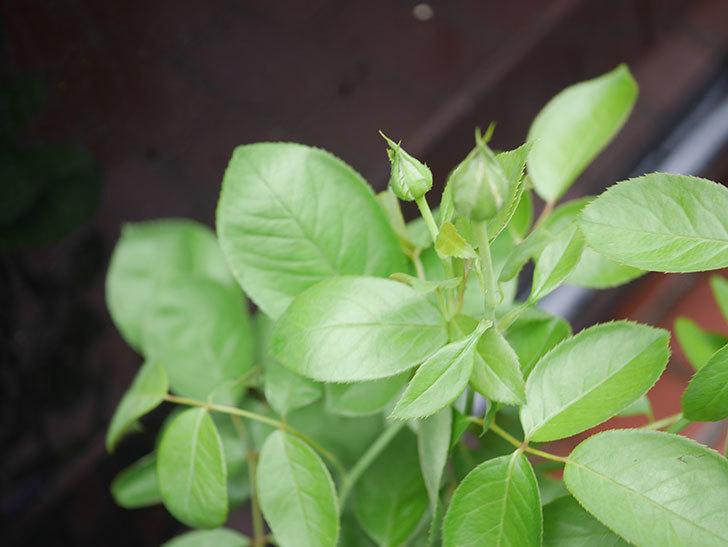 ラ・パリジェンヌ(La Parisienne)の新苗をはなはなショップで買った。木立バラ。2020年-003.jpg