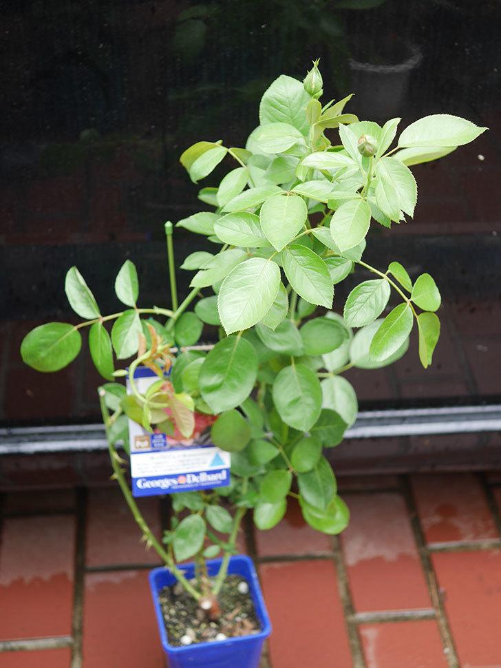 ラ・パリジェンヌ(La Parisienne)の新苗をはなはなショップで買った。木立バラ。2020年-004.jpg