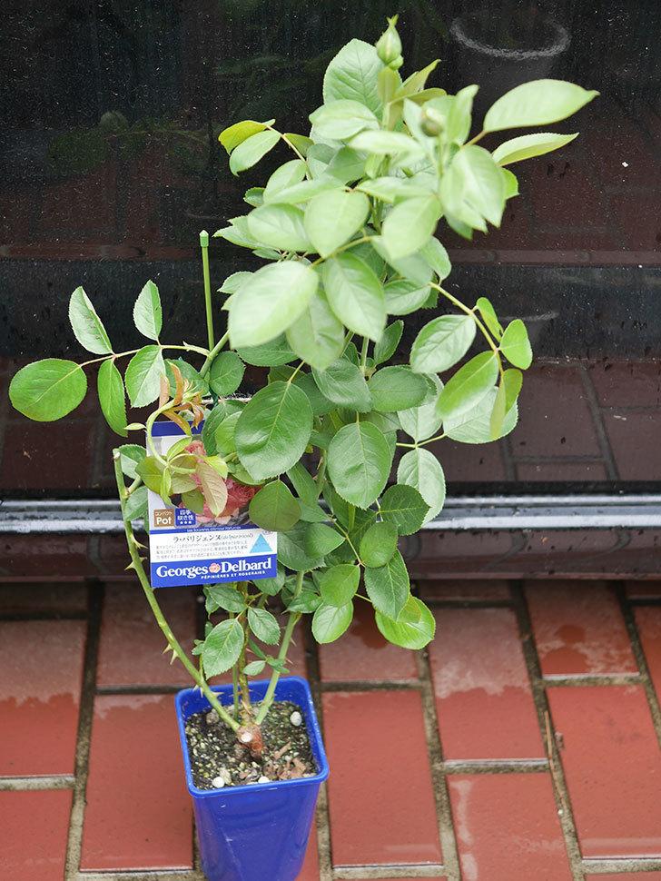 ラ・パリジェンヌ(La Parisienne)の新苗をはなはなショップで買った。木立バラ。2020年-005.jpg
