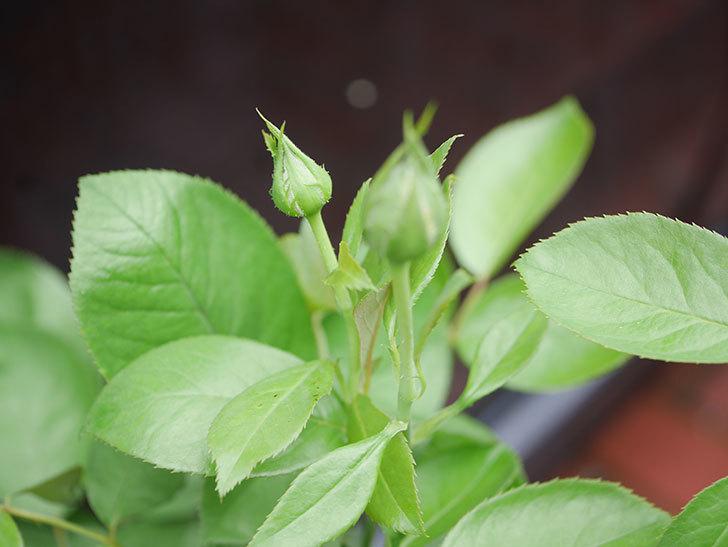 ラ・パリジェンヌ(La Parisienne)の新苗をはなはなショップで買った。木立バラ。2020年-006.jpg