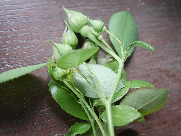 ラ・パリジェンヌ(La Parisienne)の新苗をはなはなショップで買った。木立バラ。2020年-009.jpg
