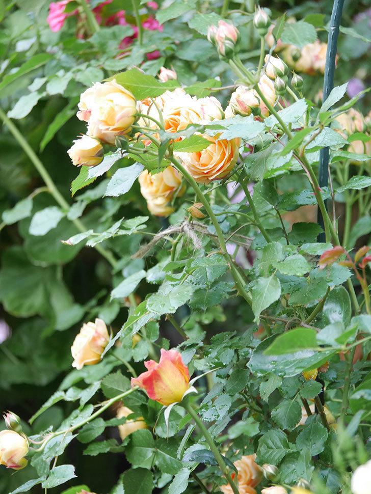ラ・パリジェンヌ(La Parisienne)の花がまた咲いた。木立バラ。2021年-001.jpg