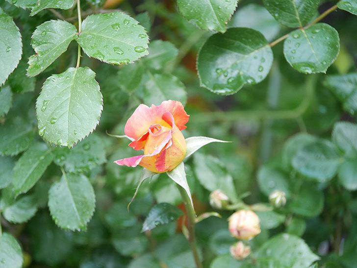 ラ・パリジェンヌ(La Parisienne)の花がまた咲いた。木立バラ。2021年-002.jpg