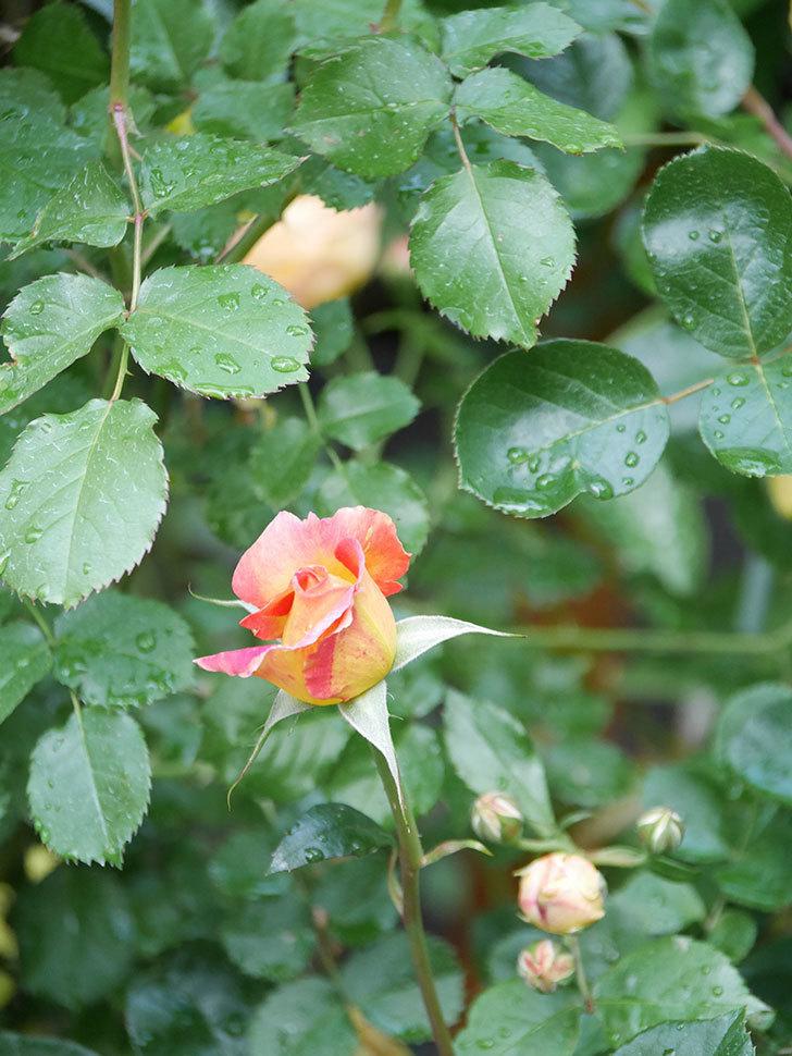 ラ・パリジェンヌ(La Parisienne)の花がまた咲いた。木立バラ。2021年-003.jpg