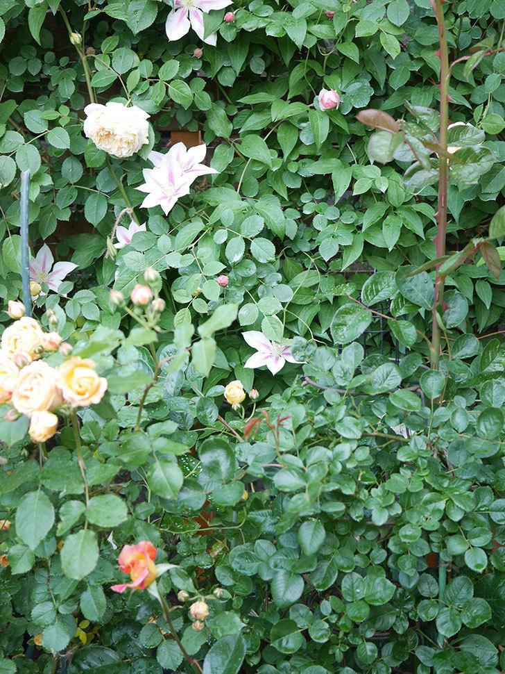ラ・パリジェンヌ(La Parisienne)の花がまた咲いた。木立バラ。2021年-011.jpg