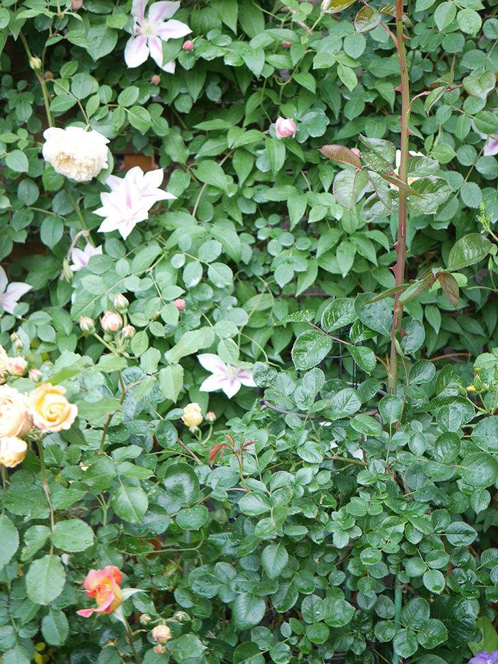 ラ・パリジェンヌ(La Parisienne)の花がまた咲いた。木立バラ。2021年-012.jpg