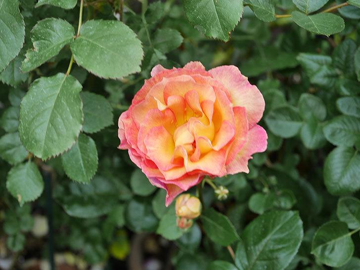 ラ・パリジェンヌ(La Parisienne)の花がまた咲いた。木立バラ。2021年-013.jpg