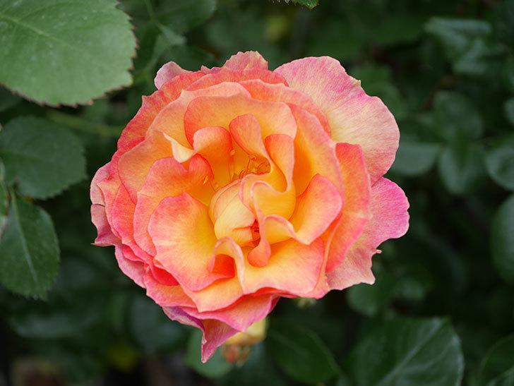 ラ・パリジェンヌ(La Parisienne)の花がまた咲いた。木立バラ。2021年-014.jpg
