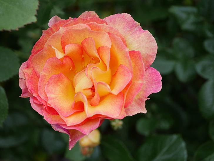 ラ・パリジェンヌ(La Parisienne)の花がまた咲いた。木立バラ。2021年-015.jpg