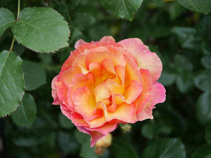 ラ・パリジェンヌ(La Parisienne)の花がまた咲いた。木立バラ。2021年-016.jpg