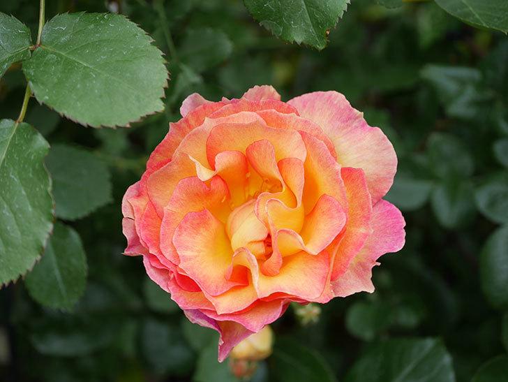 ラ・パリジェンヌ(La Parisienne)の花がまた咲いた。木立バラ。2021年-017.jpg