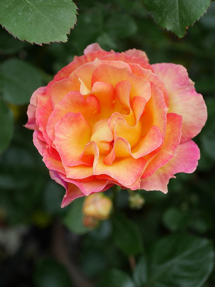 ラ・パリジェンヌ(La Parisienne)の花がまた咲いた。木立バラ。2021年-018.jpg
