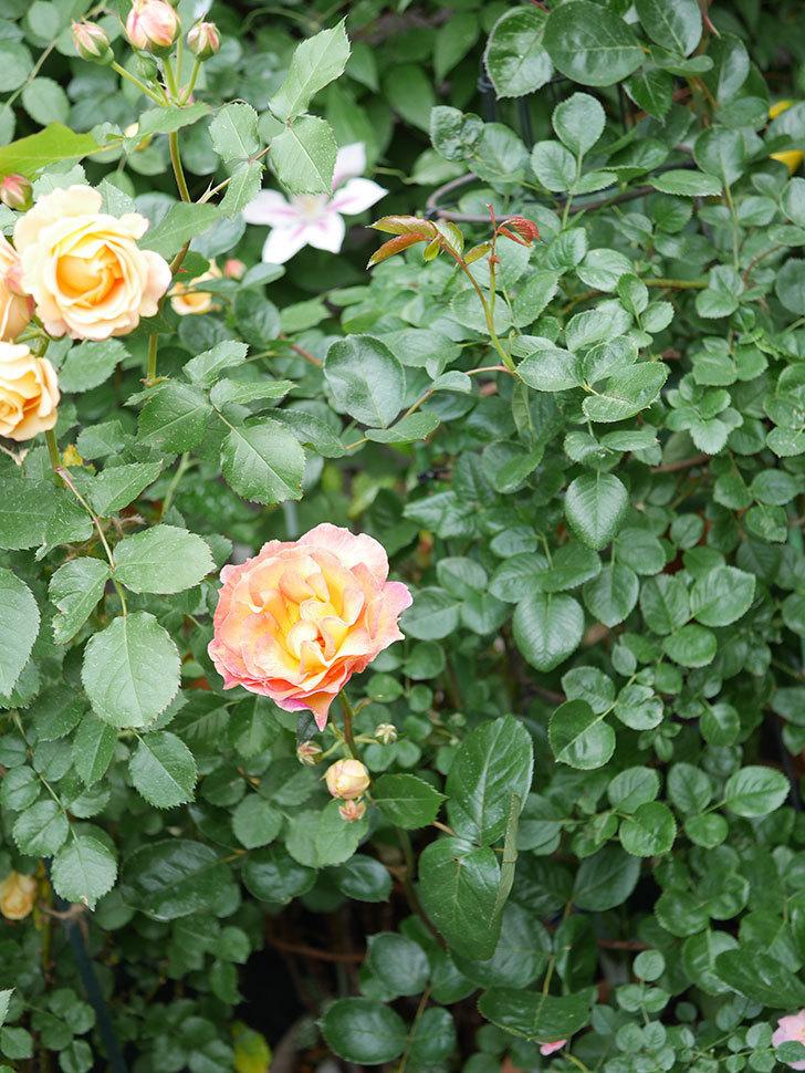 ラ・パリジェンヌ(La Parisienne)の花がまた咲いた。木立バラ。2021年-019.jpg