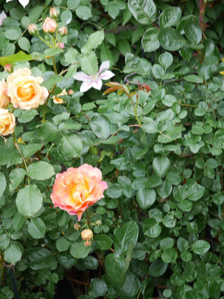 ラ・パリジェンヌ(La Parisienne)の花がまた咲いた。木立バラ。2021年-020.jpg