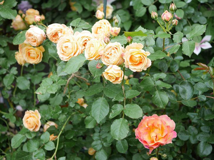 ラ・パリジェンヌ(La Parisienne)の花がまた咲いた。木立バラ。2021年-021.jpg