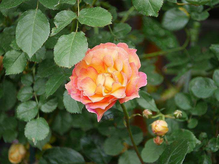 ラ・パリジェンヌ(La Parisienne)の花がまた咲いた。木立バラ。2021年-023.jpg