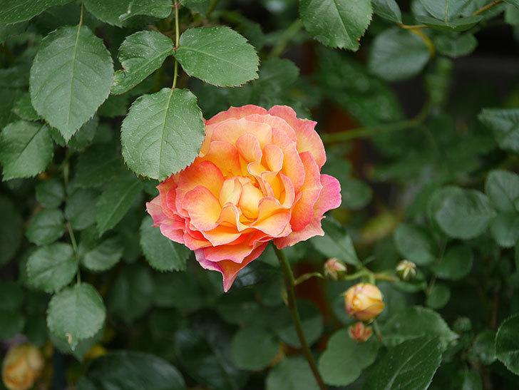 ラ・パリジェンヌ(La Parisienne)の花がまた咲いた。木立バラ。2021年-024.jpg