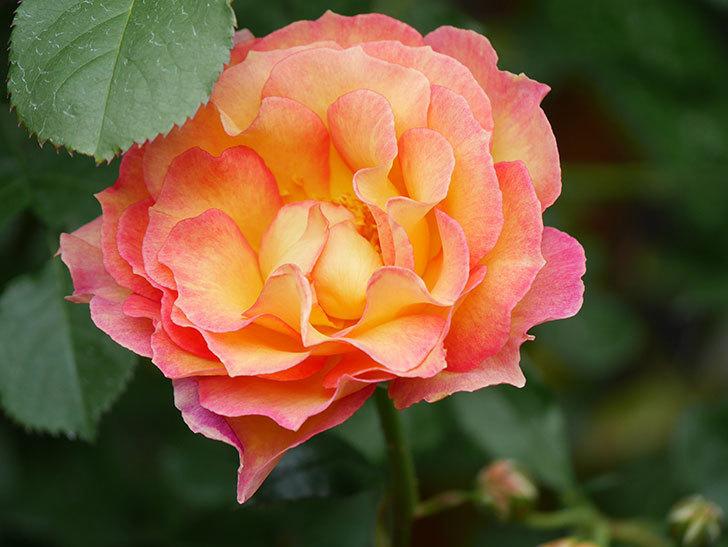 ラ・パリジェンヌ(La Parisienne)の花がまた咲いた。木立バラ。2021年-025.jpg