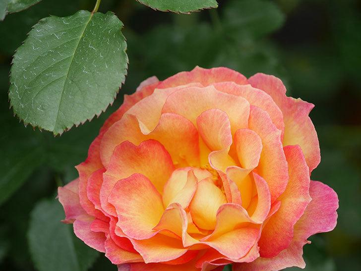ラ・パリジェンヌ(La Parisienne)の花がまた咲いた。木立バラ。2021年-026.jpg