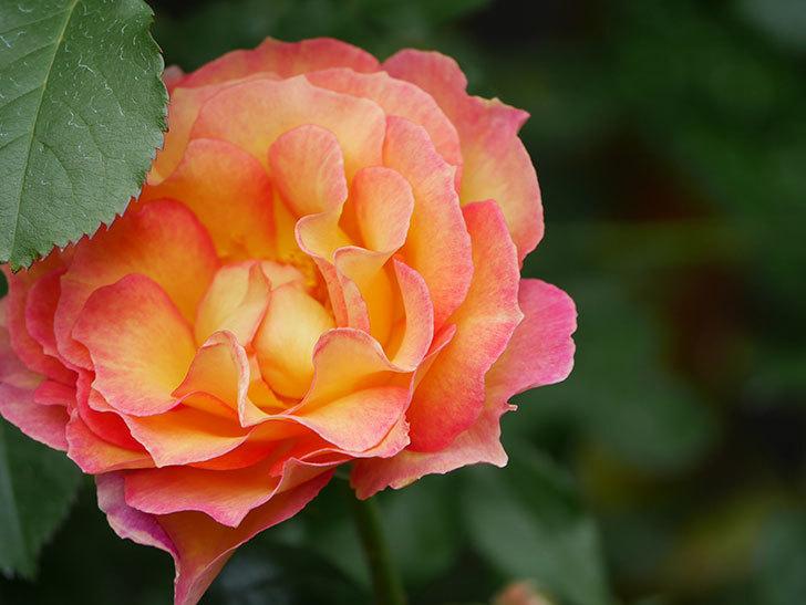 ラ・パリジェンヌ(La Parisienne)の花がまた咲いた。木立バラ。2021年-027.jpg