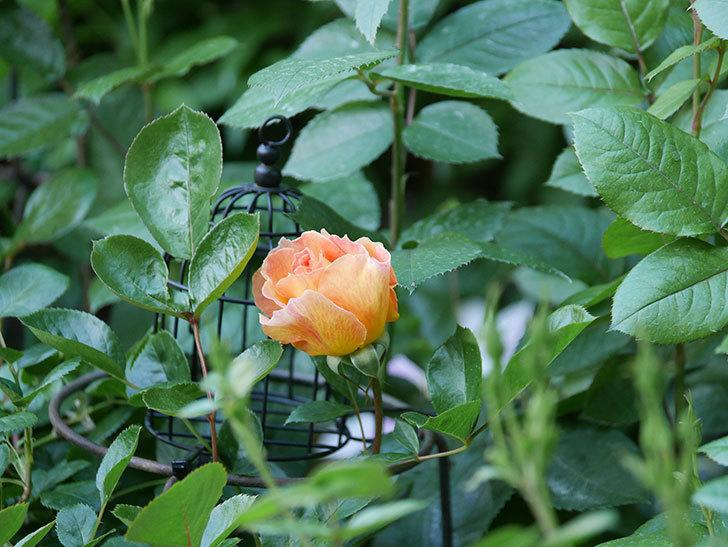 ラ・パリジェンヌ(La Parisienne)の花が咲いた。木立バラ。2021年-001.jpg