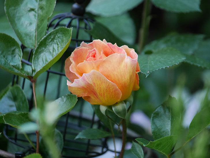 ラ・パリジェンヌ(La Parisienne)の花が咲いた。木立バラ。2021年-002.jpg
