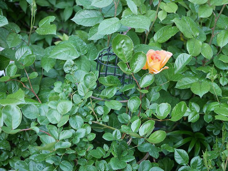 ラ・パリジェンヌ(La Parisienne)の花が咲いた。木立バラ。2021年-006.jpg