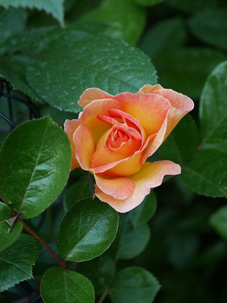 ラ・パリジェンヌ(La Parisienne)の花が咲いた。木立バラ。2021年-007.jpg
