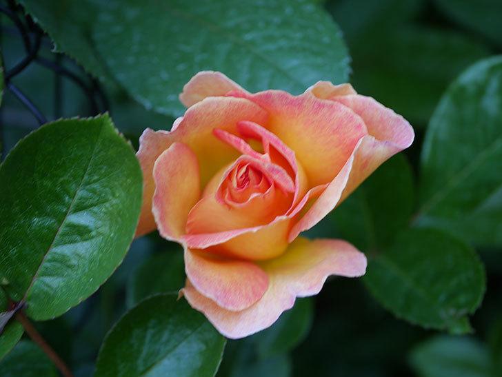 ラ・パリジェンヌ(La Parisienne)の花が咲いた。木立バラ。2021年-009.jpg