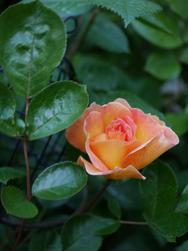 ラ・パリジェンヌ(La Parisienne)の花が咲いた。木立バラ。2021年-011.jpg