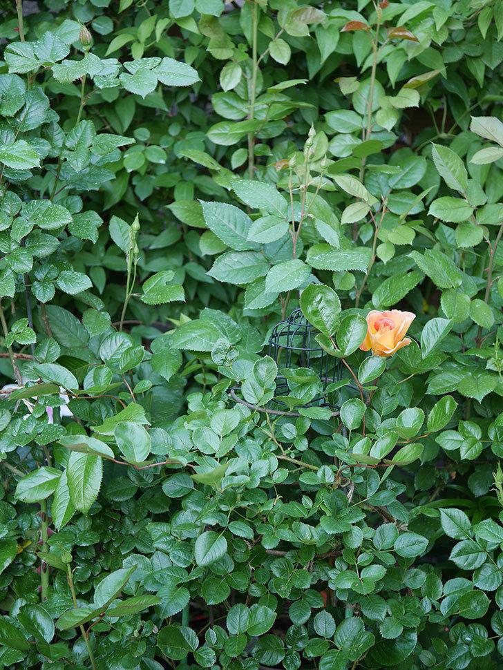 ラ・パリジェンヌ(La Parisienne)の花が咲いた。木立バラ。2021年-012.jpg