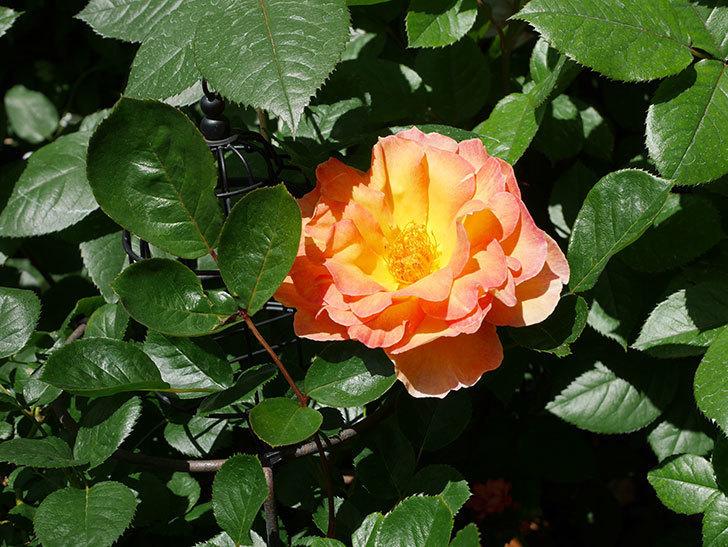 ラ・パリジェンヌ(La Parisienne)の花が咲いた。木立バラ。2021年-013.jpg