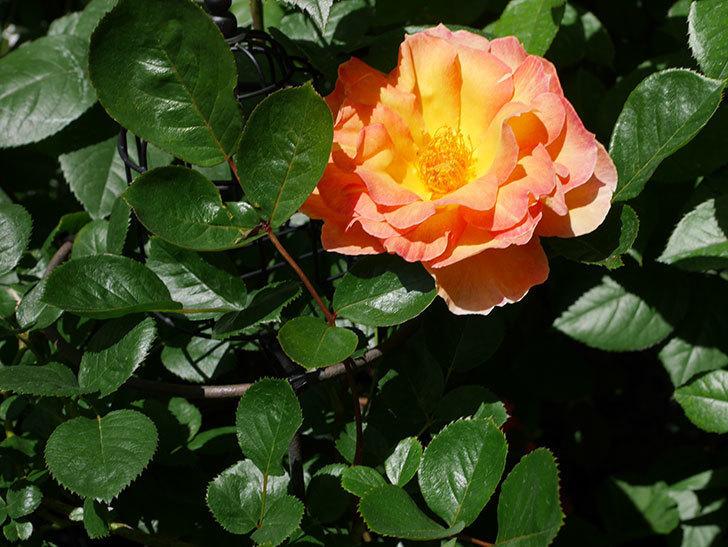 ラ・パリジェンヌ(La Parisienne)の花が咲いた。木立バラ。2021年-014.jpg