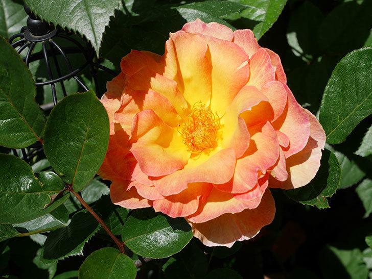ラ・パリジェンヌ(La Parisienne)の花が咲いた。木立バラ。2021年-015.jpg