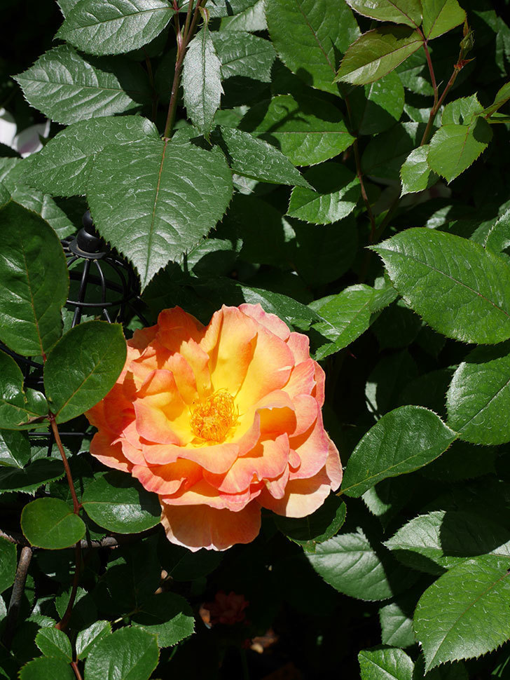 ラ・パリジェンヌ(La Parisienne)の花が咲いた。木立バラ。2021年-017.jpg
