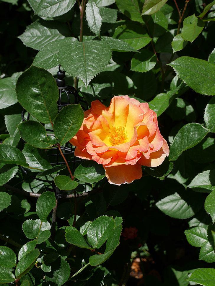 ラ・パリジェンヌ(La Parisienne)の花が咲いた。木立バラ。2021年-018.jpg