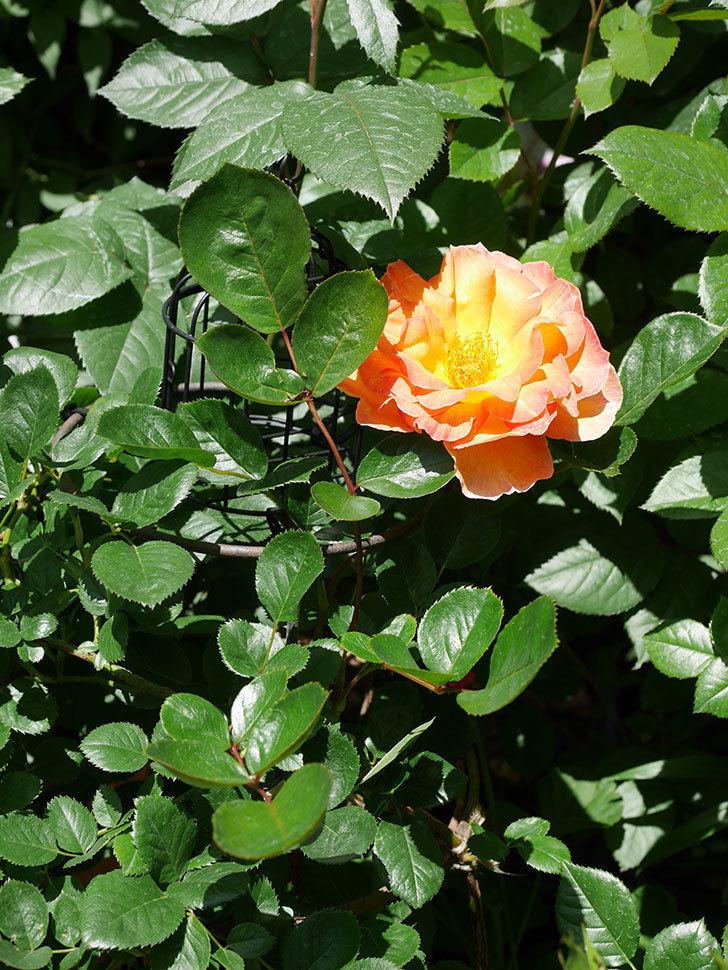 ラ・パリジェンヌ(La Parisienne)の花が咲いた。木立バラ。2021年-020.jpg
