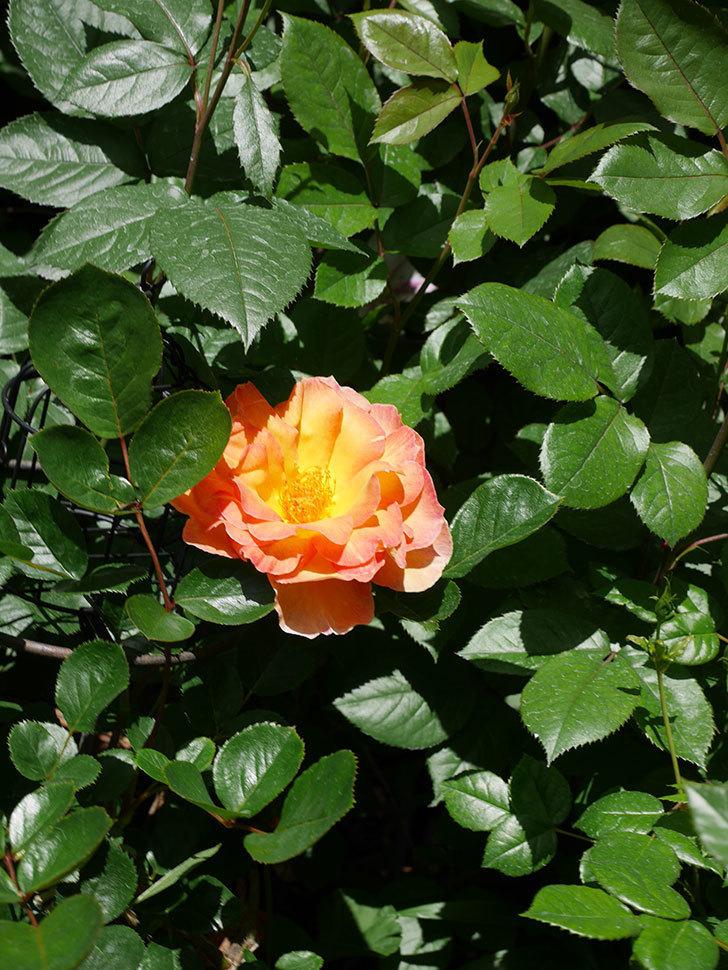 ラ・パリジェンヌ(La Parisienne)の花が咲いた。木立バラ。2021年-021.jpg