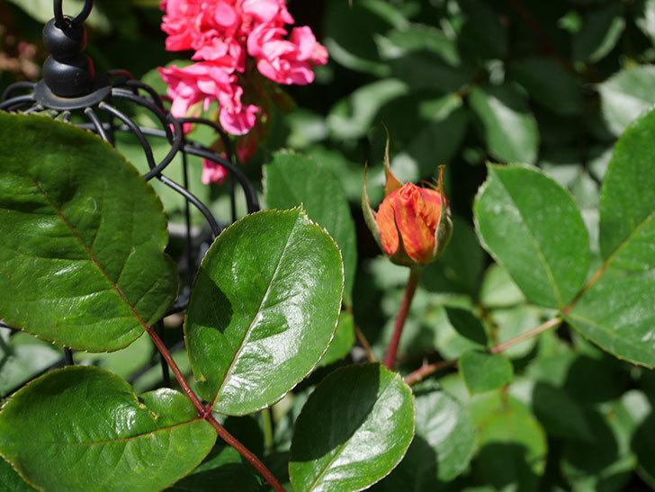 ラ・パリジェンヌ(La Parisienne)の蕾が膨らんで来た。木立バラ。2021年-009.jpg