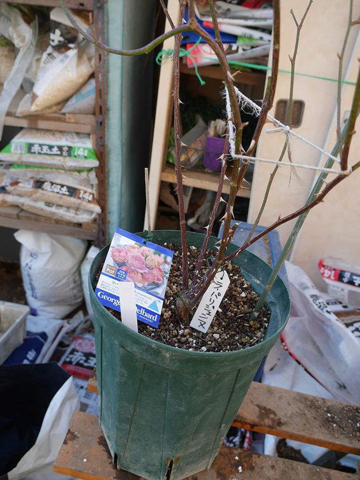 ラ・パリジェンヌ(La Parisienne)を植え替えてからオベリスクに誘引をした。木立バラ。2021年-002.jpg