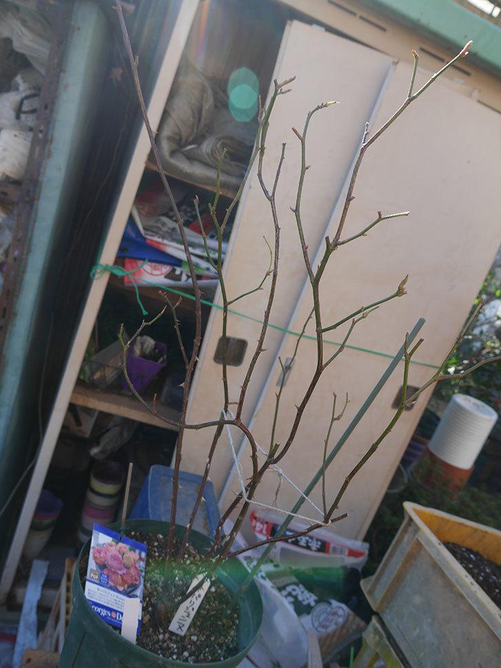 ラ・パリジェンヌ(La Parisienne)を植え替えてからオベリスクに誘引をした。木立バラ。2021年-003.jpg