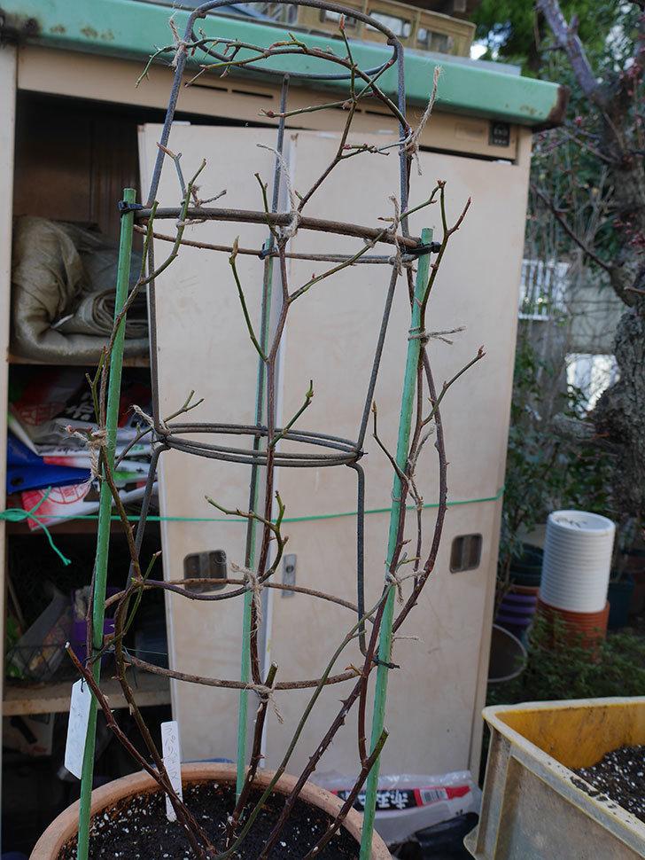 ラ・パリジェンヌ(La Parisienne)を植え替えてからオベリスクに誘引をした。木立バラ。2021年-015.jpg