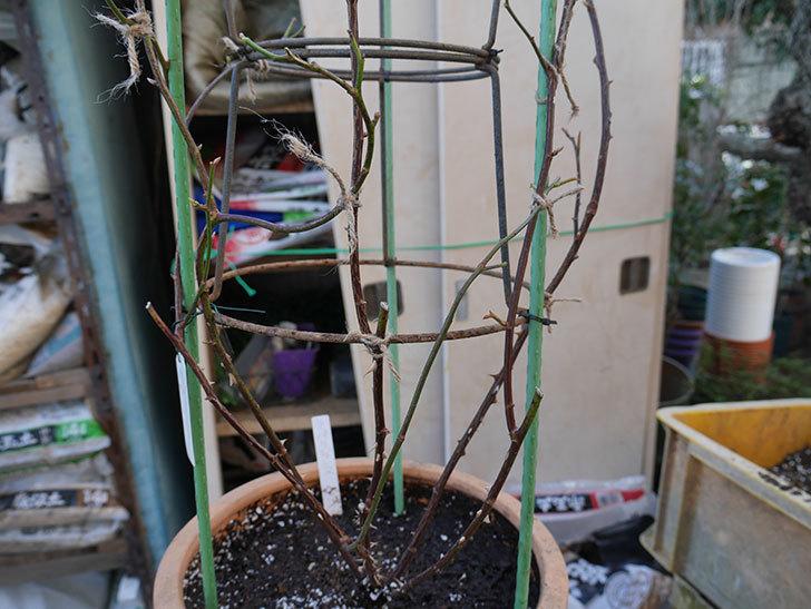 ラ・パリジェンヌ(La Parisienne)を植え替えてからオベリスクに誘引をした。木立バラ。2021年-016.jpg