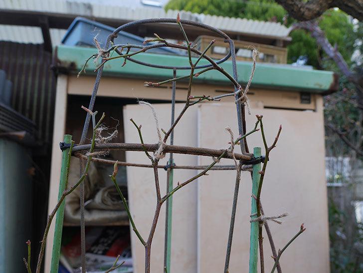 ラ・パリジェンヌ(La Parisienne)を植え替えてからオベリスクに誘引をした。木立バラ。2021年-018.jpg
