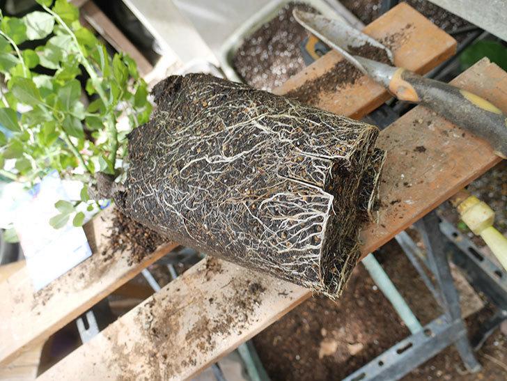 ラ・レーヌ・ドゥ・ラ・ニュイ(La Reine de la Nuit)8号ロングスリット鉢に植え替。2021年-002.jpg
