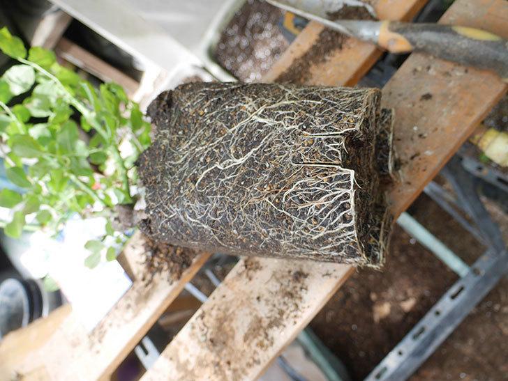 ラ・レーヌ・ドゥ・ラ・ニュイ(La Reine de la Nuit)8号ロングスリット鉢に植え替。2021年-003.jpg