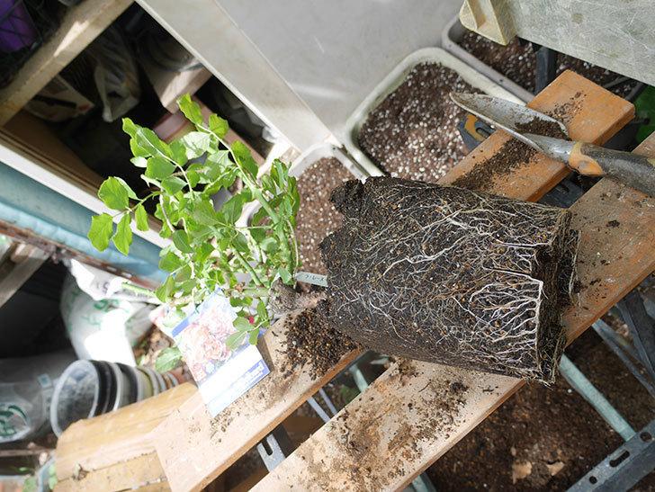 ラ・レーヌ・ドゥ・ラ・ニュイ(La Reine de la Nuit)8号ロングスリット鉢に植え替。2021年-004.jpg