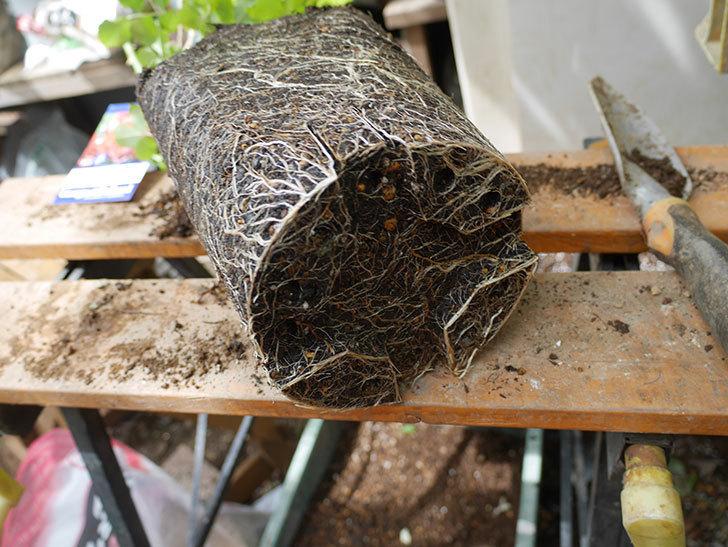 ラ・レーヌ・ドゥ・ラ・ニュイ(La Reine de la Nuit)8号ロングスリット鉢に植え替。2021年-005.jpg